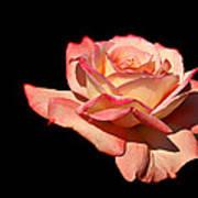 Rose On Black Background Art Print