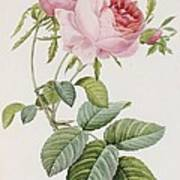 Rose Art Print by Pierre Joesph Redoute
