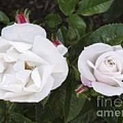 Rose (rosa 'pearl Drift') Art Print