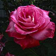 Rose Rose Art Print