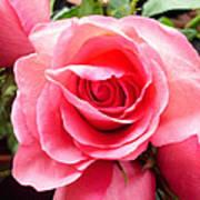 Rose Roses Art Print