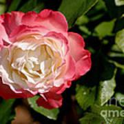 Rose Ruffles Art Print