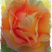 Rose Taken At Sunset  Art Print