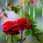 Rose Water Drops Art Print