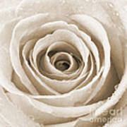 Rose With Water Droplets - Sepia Print by Natalie Kinnear