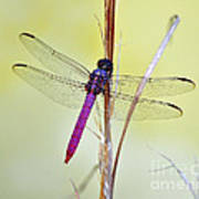 Roseate Skimmer Dragonfly Art Print by Al Powell Photography USA
