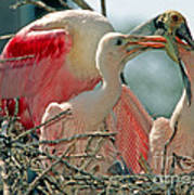 Roseate Spoonbill Feeding Young At Nest Art Print