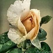 Rosebud After The Rain Art Print