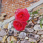 Roses Against The Wall Art Print