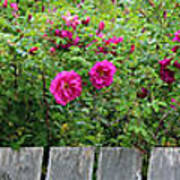 Roses On A Fence Art Print