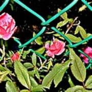 Roses On Fence Art Print