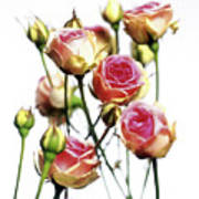 Roses (rosa 'mini Eden') Art Print