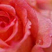 Roslyn's Rose Art Print