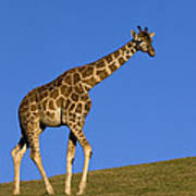 Rothschild Giraffe  Art Print