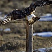 Rough-legged Hawk   #1865 Art Print