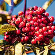Rowan Berries Art Print