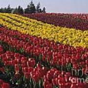 Rows Of Multicolored Tulips In Field Mount Vernon Washington Sta Art Print