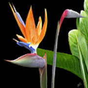 Royal Beauty II - Bird Of Paradise Print by Ben and Raisa Gertsberg