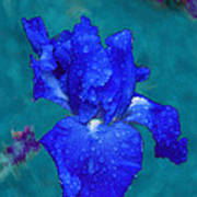 Royal Blue Iris Art Print