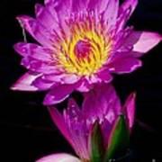 Royal Lily Art Print
