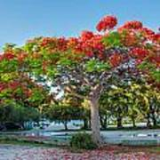 Royal Poinciana Art Print