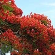 Royal Poinciana Branch Art Print