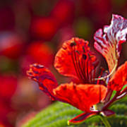 Royal Poinciana - Flamboyant - Delonix Regia Art Print