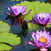 Royal Purple Water Lilies Art Print