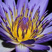 Royal Purple Water Lily #5 Art Print