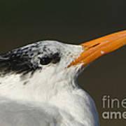 Royal Tern Art Print