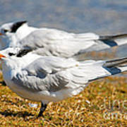Royal Tern Art Print