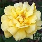 Royal Yellow Delight Rose... Art Print