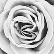 Rubellite Rose Bw Palm Springs Art Print