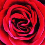 Rubellite Rose Palm Springs Art Print