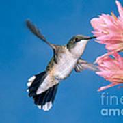 Ruby-throated Hummingbird Art Print