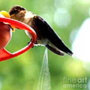 Ruby-throated Hummingbird Pooping Art Print