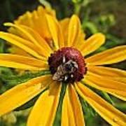 Rudbeckia Bee Art Print