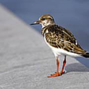 Ruddy Turnstone Bird Arenaria Interpres Florida Usa Art Print