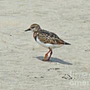Ruddy Turnstone Wading Bird - Arenaria Interpres Art Print