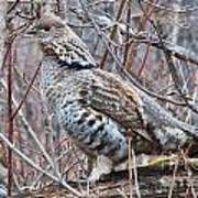 Ruffed Grouse Male Art Print by Chris Heitstuman