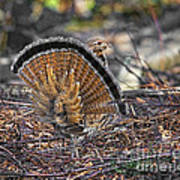 Ruffed Grouse Rear Strut Art Print