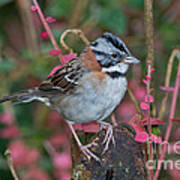 Rufous-collared Sparrow Art Print