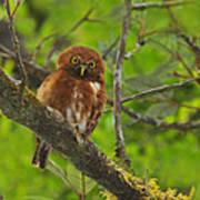 Rufous Morph Costa Rican Pygmy-owl Print by Tony Beck