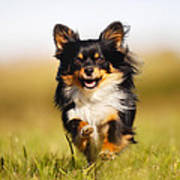 Running Chihuahua Art Print