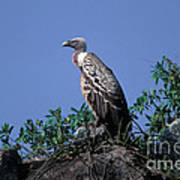 Ruppells Griffon Vulture Art Print