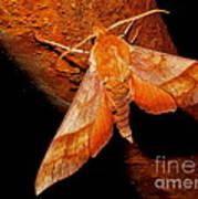 Rusty Sphinx Moth Art Print