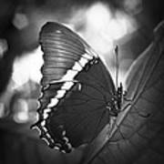 Rusty Tip Butterfly Black And White Art Print