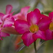Sabi Star - Desert Rose Garden Of Dreams Hawaii Art Print