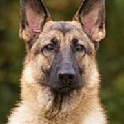 Sable German Shepherd Dog Art Print