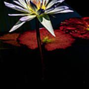 Sacred Water Lilies Art Print